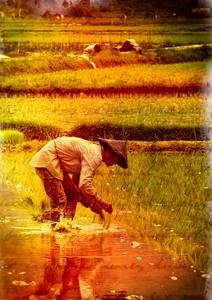 Homme cueillant le riz dans une rizière