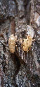 Mues d'insectes sur l'écorce d'un arbre