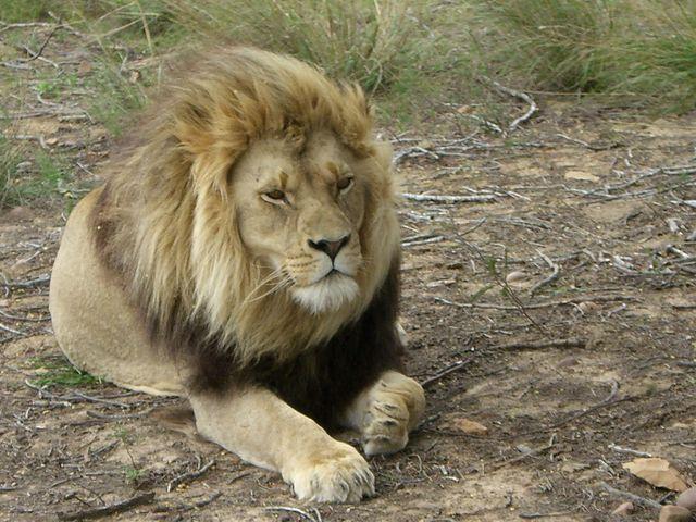 Rondreis Zuid-Afrika Addo Elephant Park leeuw