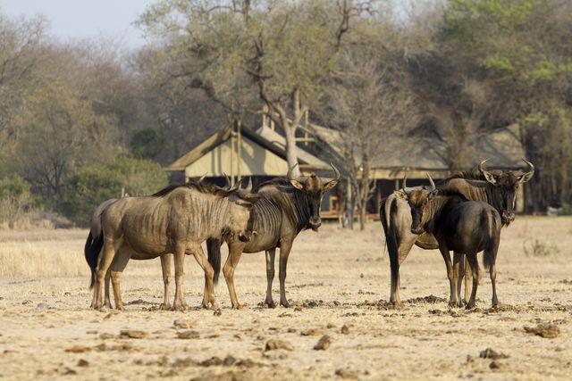 rondreis zuid-afrika Kruger Park Plains Camp Walking safaris Wildebeest
