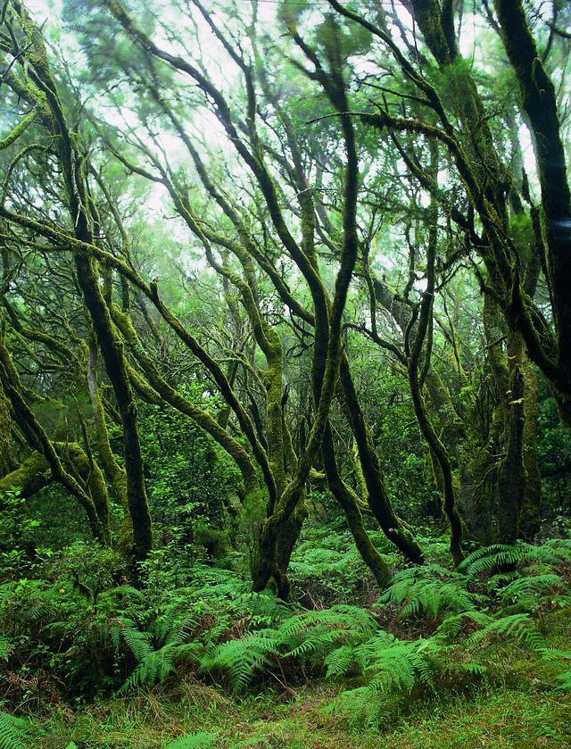 Rondreis Islandhoppen Canarische Eilanden La Gomera oerbos in het Parque Nacional de Garajonay