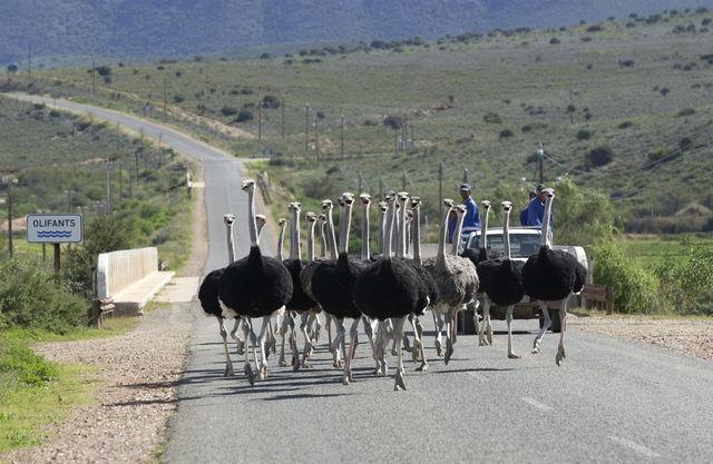 rondreis zuid-afrika karoo struisvogels op de weg