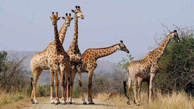 rondreis zuid-afrika Hluhluwe game reserve giraffen