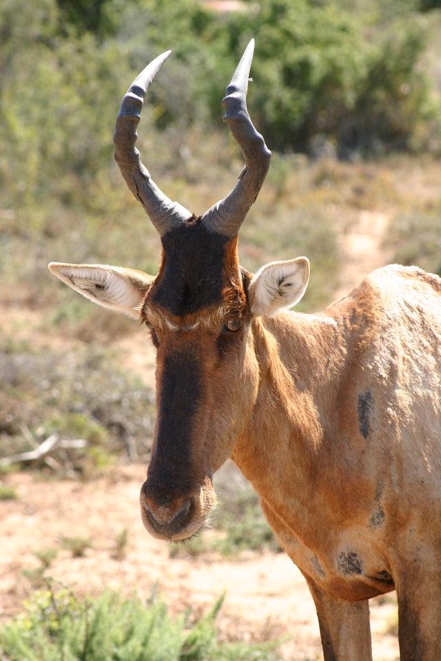 Rondreis Zuid-Afrika Addo eland