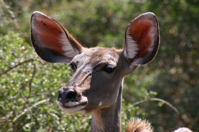 Rondreis Zuid-Afrika Addo impala