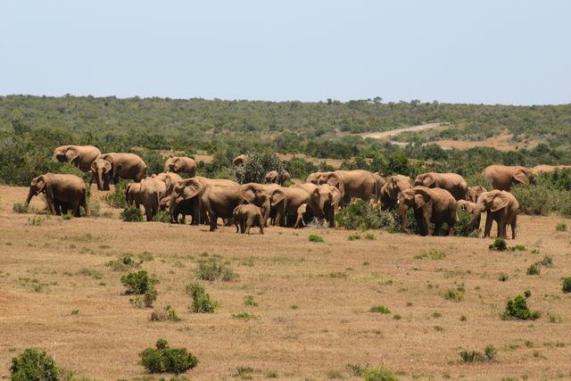 Rondreis Zuid-Afrika Addo Comsos cuisine olifanten