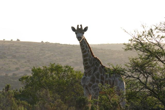 Rondreis Zuid-Afrika Addo giraf