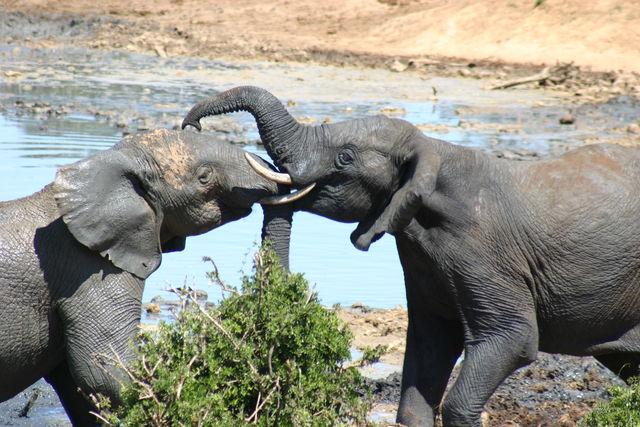 Rondreis Zuid-Afrika Addo olifanten spelen