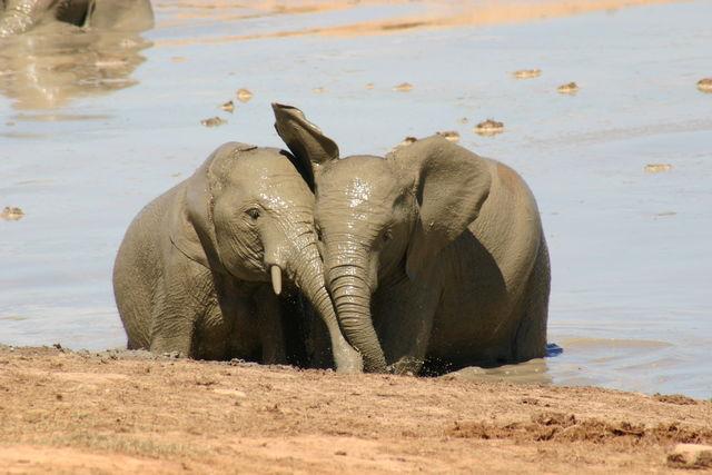 Rondreis Zuid-Afrika Addo olifanten in water