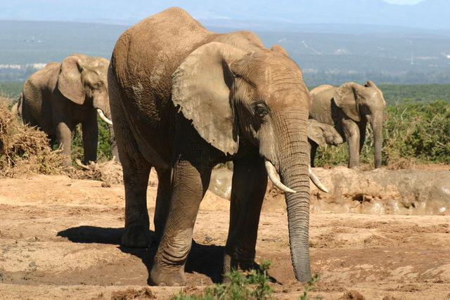 Rondreis Zuid-Afrika Addo olifanten