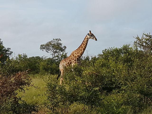 rondreis zuid-afrika Kruger Park giraf