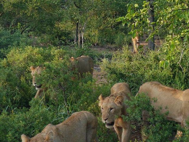 Leeuwen in Timbavati