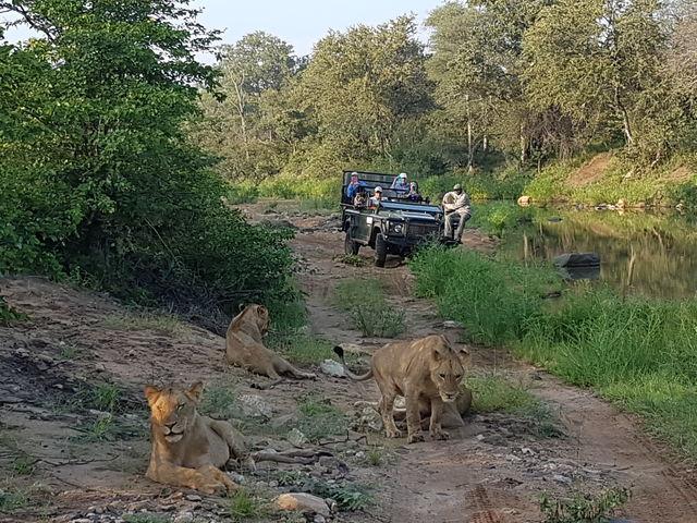 Rondreis zuid-afrika Kruger Timbavati Game Reserve leeuwen