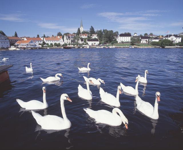 Lillesand zwanen Noorwegen