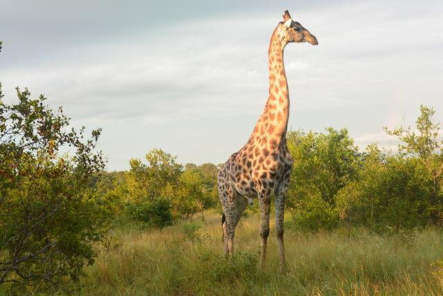rondreis zuid-afrika kololo Welgevonden Game Reserve giraf