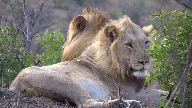 rondreis zuid-afrika Hluhluwe Game Reserve leeuwen