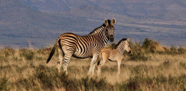 Rondreis Zuid-Afrika Mount Zebra National Paerk zebra's