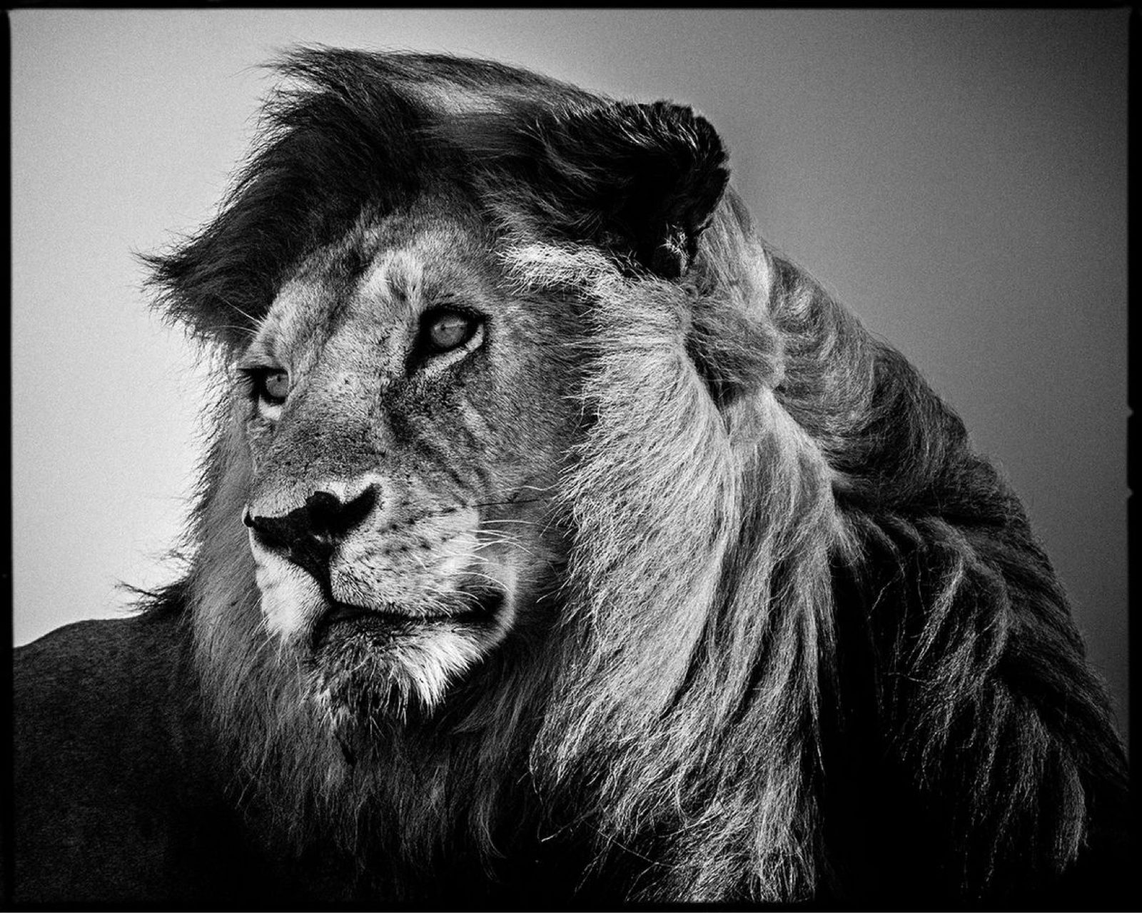 Lion In The Wind 2 by Laurent Baheux YELLOW KORNER