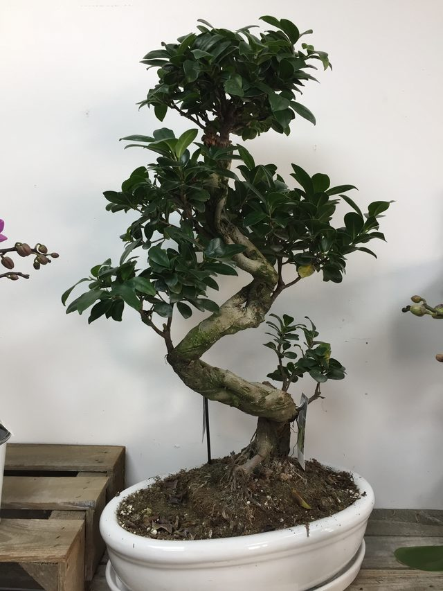 "plante ""Ficus Ginseng"""