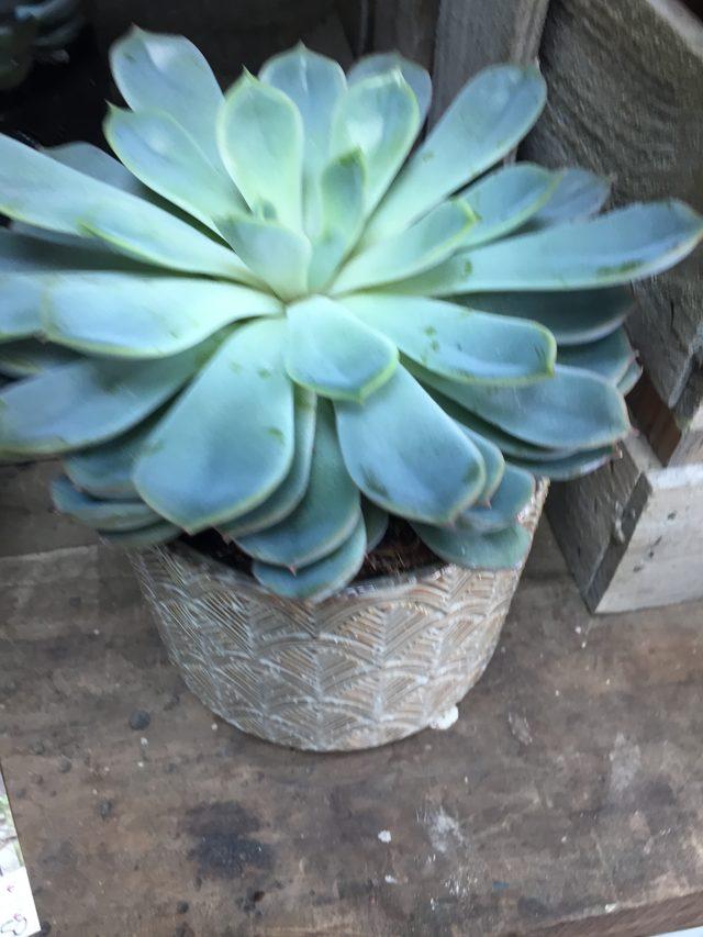 Plante grasse avec son cache pot