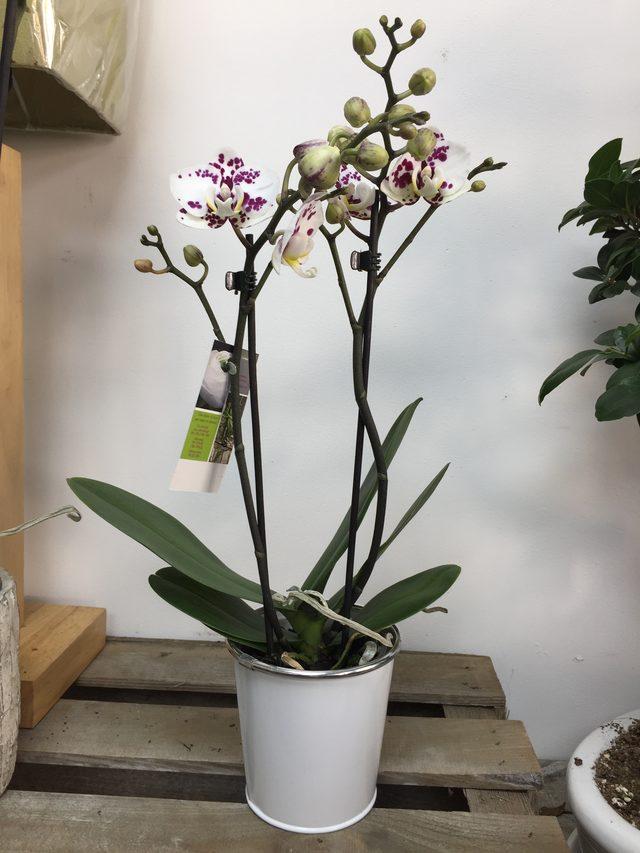 "Orchidée ""Moyenne"""