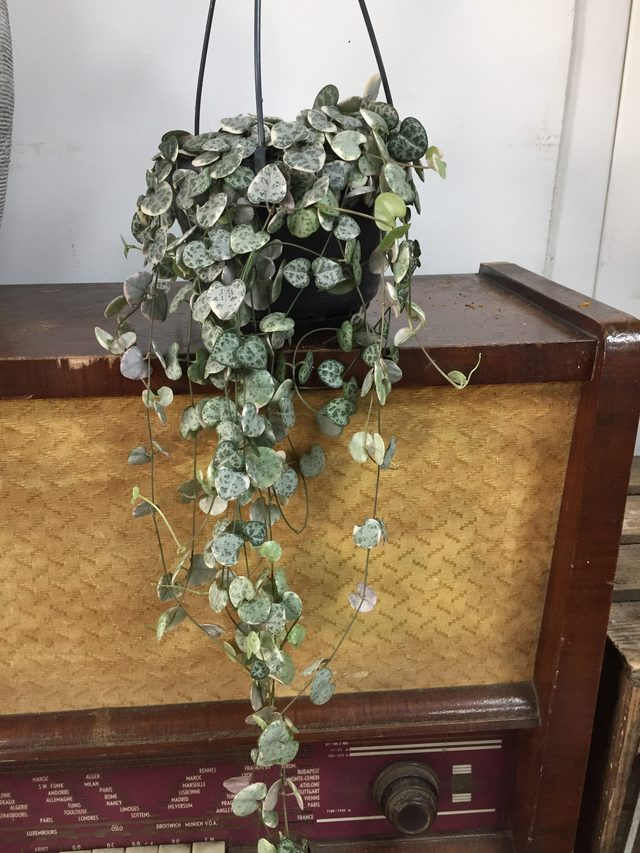Plante Ceropigia