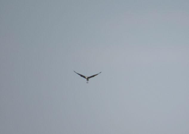 Osprey  - Hrvoje Pleše