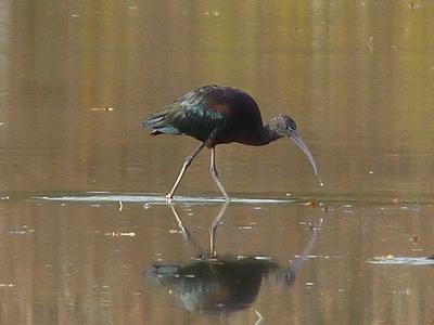 Ibis falcinelle  - Bernard Sonnerat