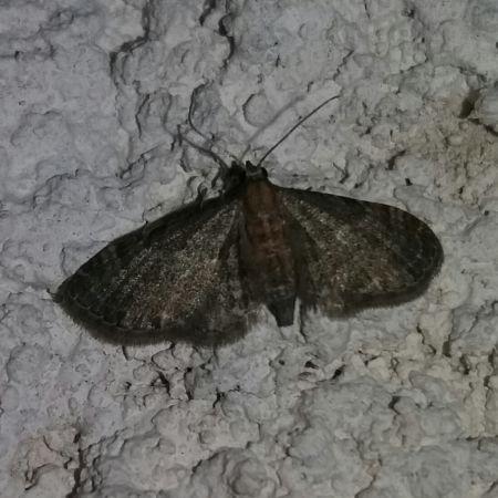 Eupithecia haworthiata  - Christophe Coussat