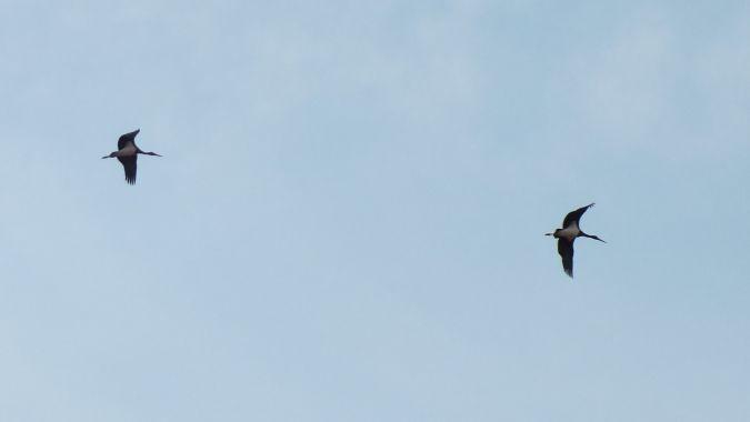 Cigogne noire  - Jonathan Vericel