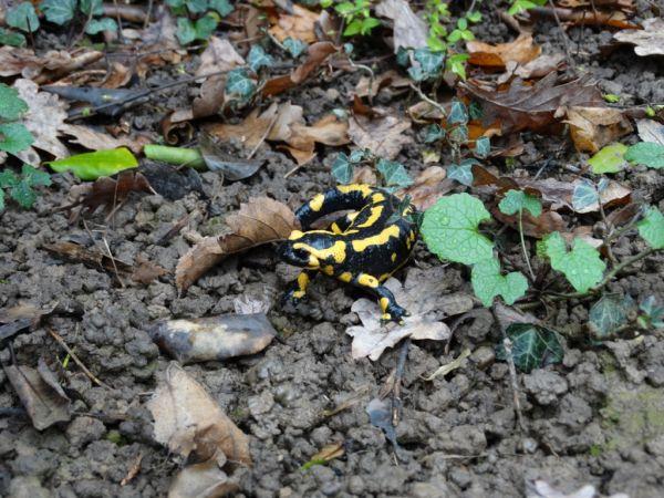 Salamandre tachetée  - André Lamy