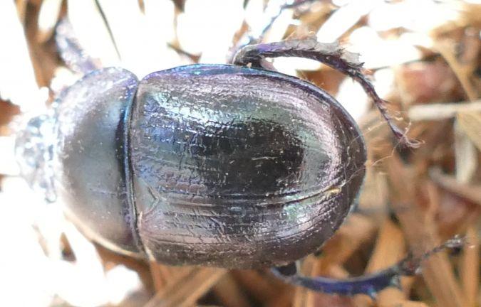 Anoplotrupes stercorosus  - Denis Dujardin