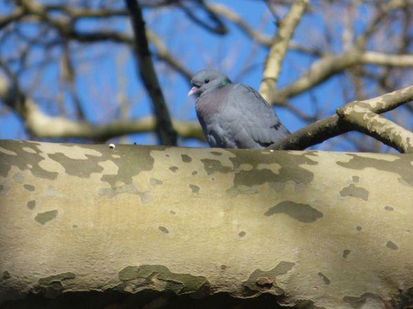 Pigeon colombin  - Thibault Stenger