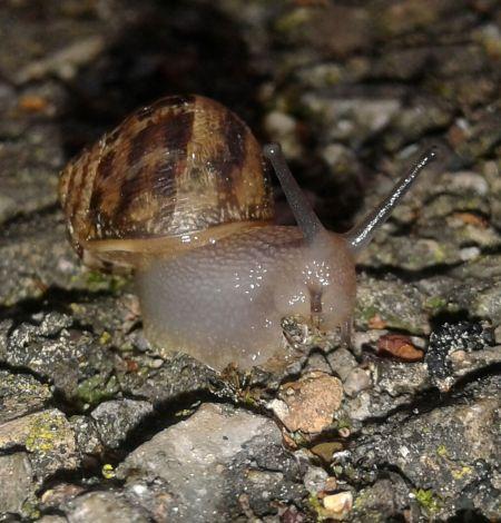 Escargot petit-gris  - Serge Fischer