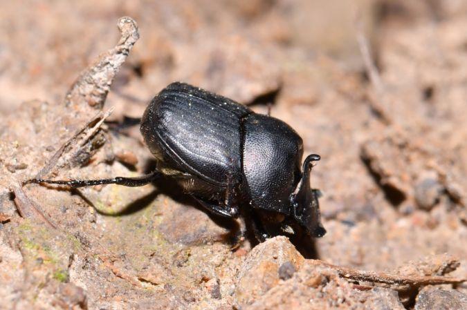 Onthophagus (Palaeonthophagus) verticicornis  - Michel et Paule Ehrhardt