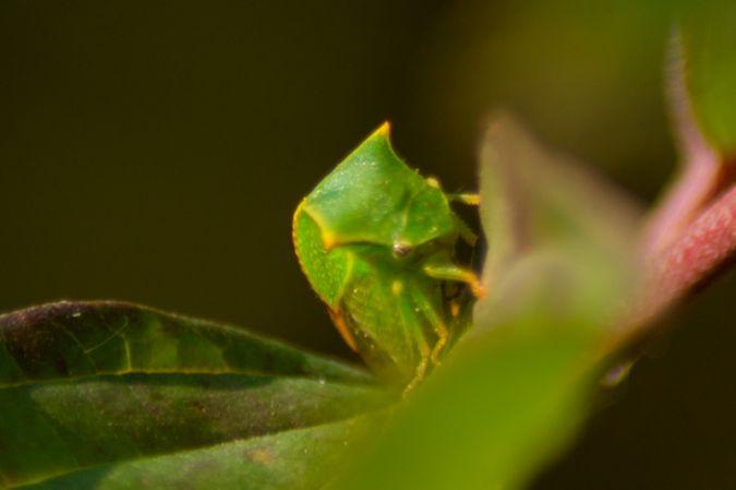 Cicadelle bison  - Armelle Chapman