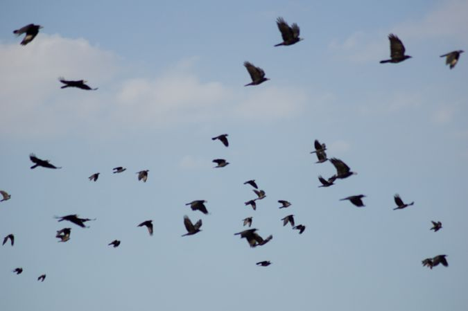 Corbeau freux  - Armelle Chapman