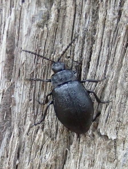Coleoptera sp.  - Dominique Holtz