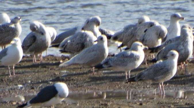 Goéland à ailes blanches  - Abel Prampart