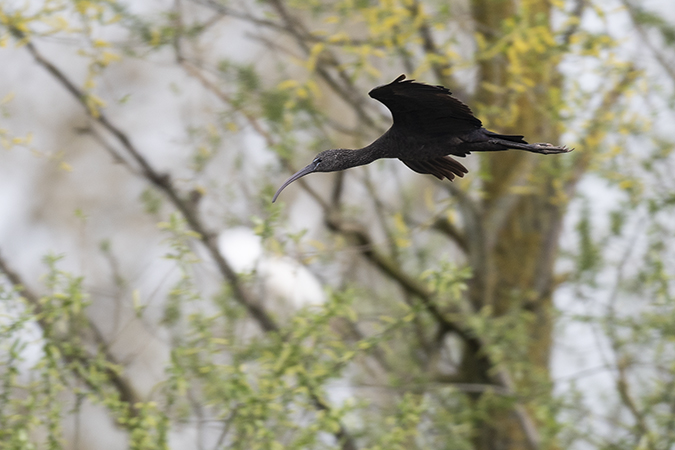 Ibis falcinelle  - Patrick Bironneau
