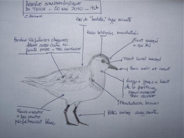 Bécasseau à cou roux  - Le Teich  Réserve Ornithologique-PNRLG