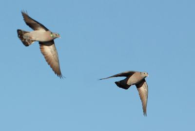 Pigeon colombin - Didier Domec