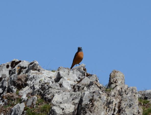 Rufous-tailed Rock Thrush  - Nicolas Delon