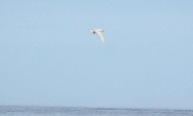 Goéland à ailes blanches  - Mathieu Taillade