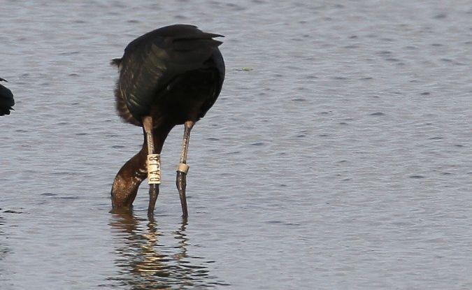 Ibis falcinelle  - Alain Noel