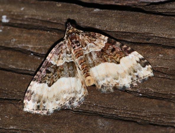 Euphyia unangulata  - Andre Linda