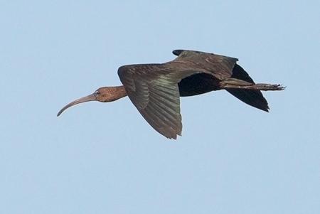 Glossy Ibis  - Didier Domec