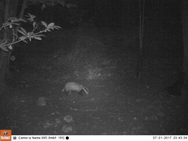 Eurasian Badger  - Thierry Bigey
