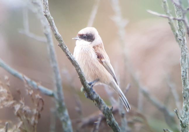 Pájaro Moscón  - Harold Dinclaux
