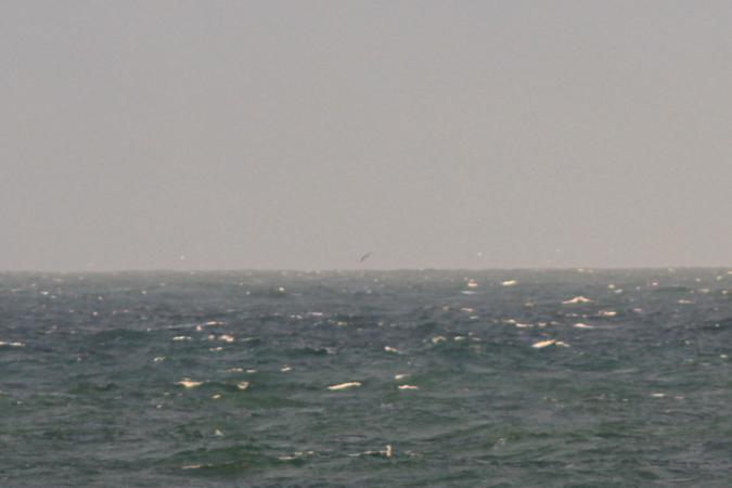 Albatros à sourcils noirs  - Philippe Legay